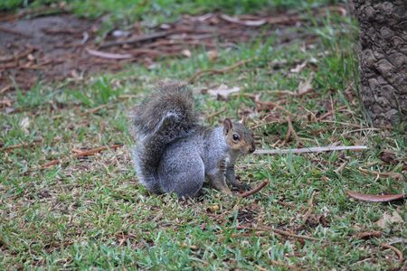 One gray squirrel in the forest 版權商用圖片 - 144272816