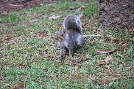 One gray squirrel in the park