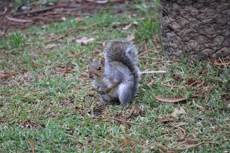 One gray squirrel on the grass in the park