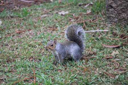 One gray squirrel on the grass in the forest 版權商用圖片 - 144273070