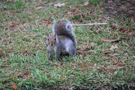 Gray squirrel in the forest on the grass