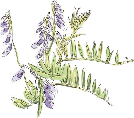 sweet pea flower: hand drawn vicia Illustration