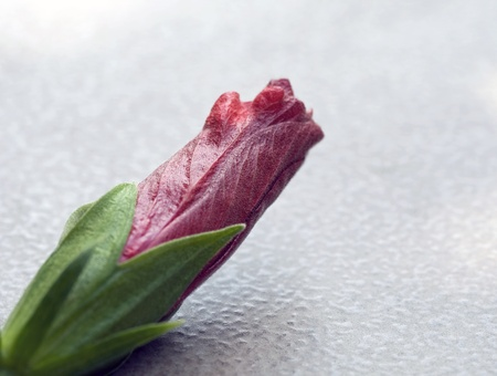 A photograph of a deep red and pink closed hibiscus blossom