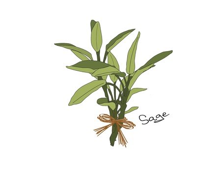 An illustration of a bunch of gray green sage tied with a raffia bow  Stock Photo