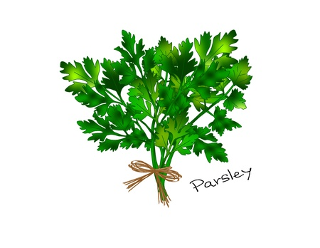 An illustration of a bunch of bright green parsley tied with a raffia bow  Stock Illustration - 13794109