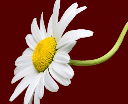 A photo of a yellow and white daisy with a curved stem on a red background Stock Photo