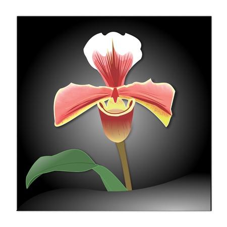 女性のスリッパ蘭の花のイラスト 写真素材