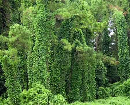 to creep: Invasive kudzu vine covering ground and trees in southern Alabama