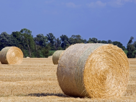 Rolled bales of wheat straw in a recently harvested dry wheat field in Michigan