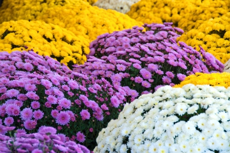 An assortment of lavender, white, and yellow fall mums