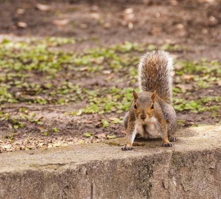 A feisty Gray Squirrel in the park on ready alert Stock Photo - 16295848