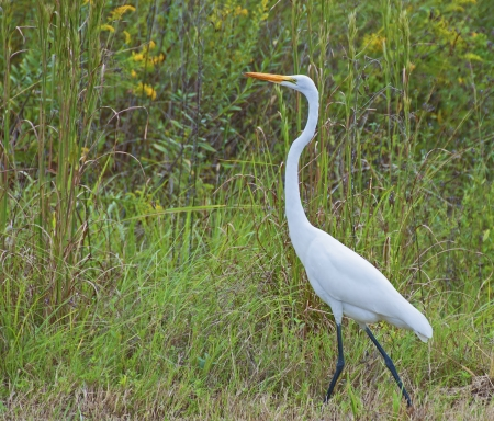 A Great White Heron bird walking through a grassy area