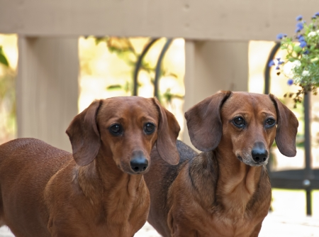 Two bright eyed reddish brown female dachshund dogs standing side by side