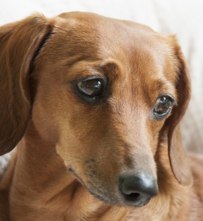 The face of a reddish brown miniature dachshund