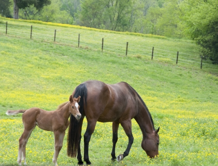 A mare and her foal in a green field of yellow wild flowers