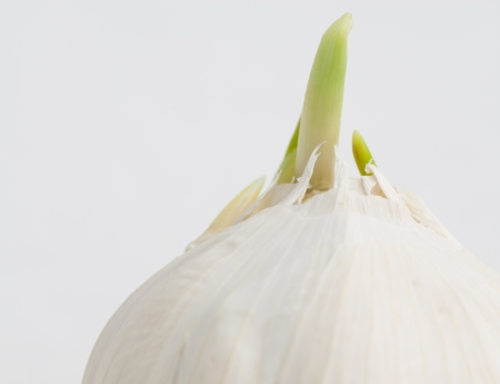 Green shoots sprouting from a white head of garlic cloves