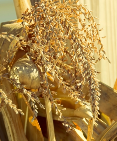 Tassels of mature corn in front of corn stalks and husks