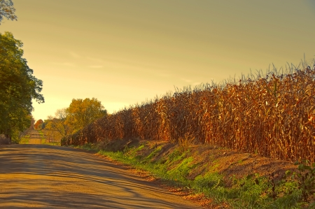 A country dirt road running beside a mature cornfield in the late afternoon in Michigan Stock Photo