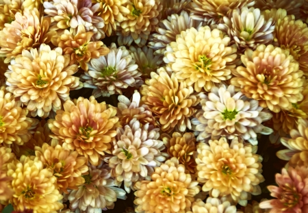 Rust colored flowering mums Stock Photo