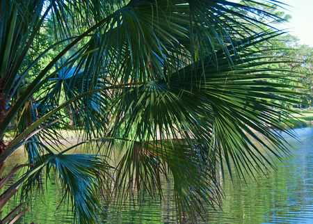 fanned: A photograph of palm fronds fanned out in front of a lake