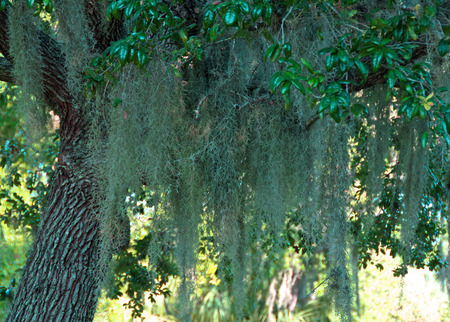 A photograph of Spanish Moss draping from a tree