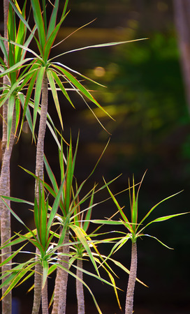 A photograph of a dracaena plant with its small trunk and spiked leaves