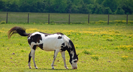 A photograph of a black and white paint horse grazing in a Tennessee field of buttercups with a flicking tail