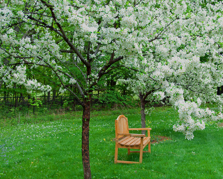 A photograph of an outdoor bench under two crabapple trees in full white bloom Stock Photo