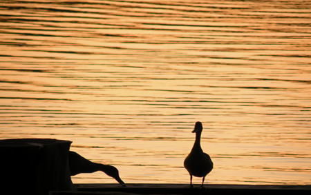 A photograph of ducks silhouetted against a water background in the evening Stock Photo