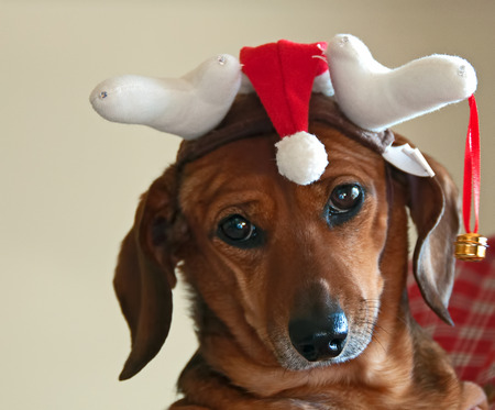 A photograph of a disgruntled dachshund wearing a Christmas hat Stock Photo