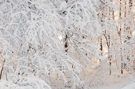 A photograph of tree branches covered in newly fallen heavy snow