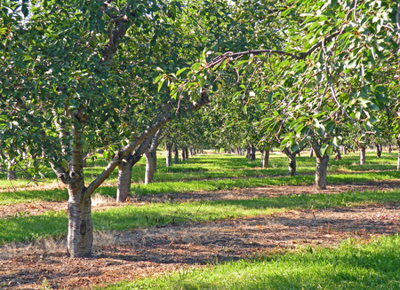 A photograph of a mature cherry orchard
