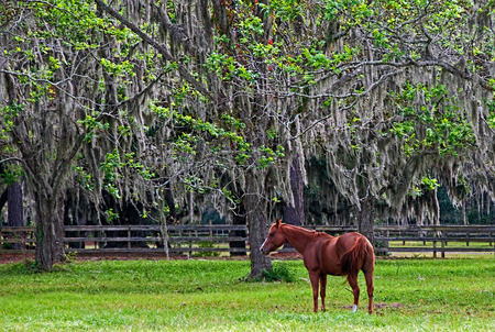 A photograph of a chestnut horse grazing in a paddock under Spanish moss hanging from live oak trees