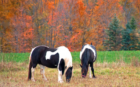 Two black and white paint horses grazing in front of colorful fall trees