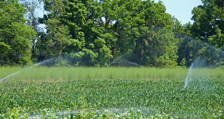 sprinkle system: A photograph of fields and corn and asparagus being watered with a spray irrigation system