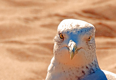 A close up photo of a seagull who seems to be defiantly looking you directly in the eye