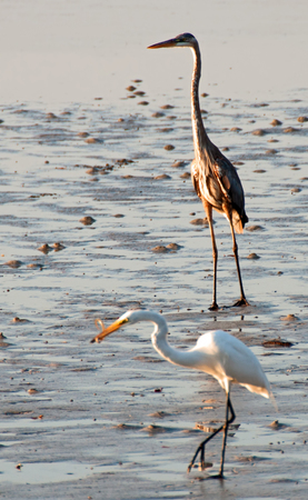 A photograph of both a brown heron and a white heron as they feed at low tide in Sarasota, Florida. Stock Photo