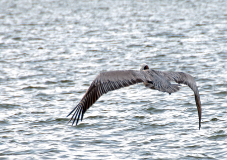 A photo of a pelican flapping its wings to rise from the water
