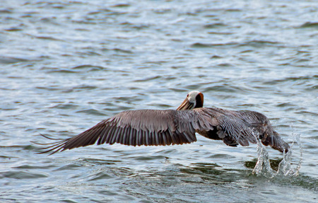 A photo of a pelican giving one last kick as it takes off from the water Stock Photo