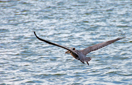 A photo of a pelican in full flight as it slowly rises above the water Foto de archivo