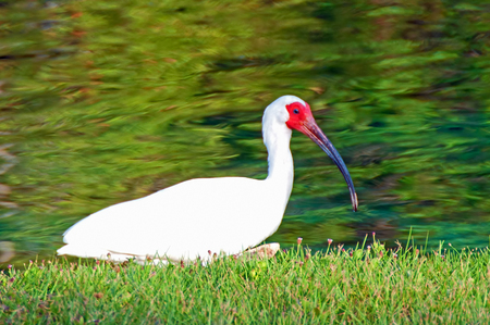 A photo of a White Ibis resting on the shore of a small pond Stock Photo