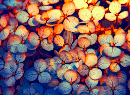 A photo of hydrangea petals in autumn shades of blue and orange