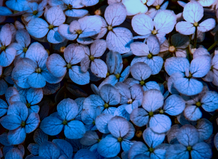 A photo of hydrangea petals in various shades of blue Stock Photo