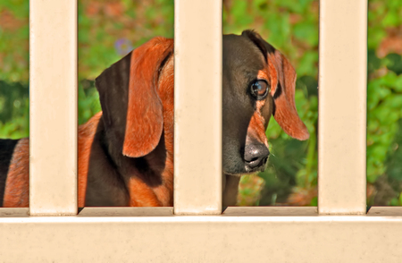 A photo of a miniature dachshund looking through the slats of a fence at sunset Stock Photo
