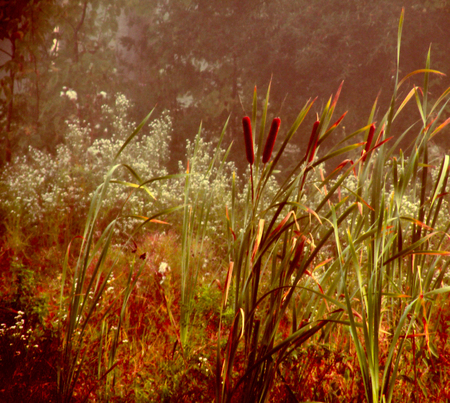 A digitally altered photograph of cattails captured on a foggy morning near Lake Leelanau Michigan Stock Photo