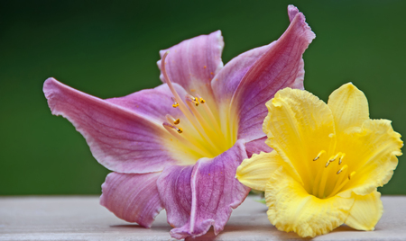 A photo of two daylily blossoms complimenting each other with their vibrant shades of lavender and yellow