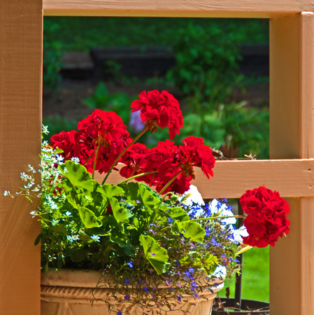 A photo of a planter containing bright red geraniums mixed with blue lobelia, white petunias, and white euphorbia