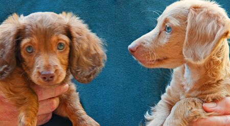 Photograph of a chocolate, green-eyed, longhair dachshund puppy and a blonde, blue-eyed dachshund puppy. One is looking at the camera and one is not.