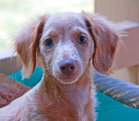 Photograph of a blonde, blue-eyed, longhair dachshund puppy.
