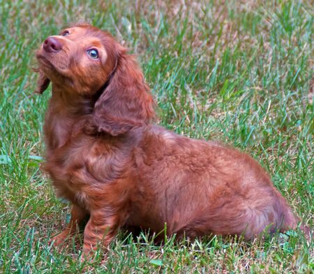 A photograph of a chocolate, longhair, dachshund puppy sitting in the grass.